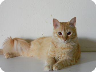 Domestic Longhair Cat for adoption in Naples, Florida - Dallas