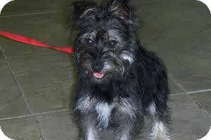 Yorkie, Yorkshire Terrier/Schnauzer (Miniature) Mix Dog for adoption in Lockhart, Texas - Zoey