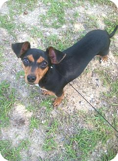 Chihuahua/Dachshund Mix Puppy for adoption in Silsbee, Texas - Lady