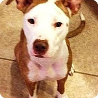 Adopt A Pet :: Elsa - Gilbert, AZ