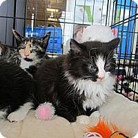 Adopt A Pet :: Puddy Cat - Easley, SC