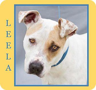 Labrador Retriever/American Staffordshire Terrier Mix Dog for adoption in Dallas, North Carolina - LEELA BASIC OBEDIENCE TRAINED