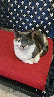 Domestic Shorthair Cat for adoption in Bryson City, North Carolina - Aria