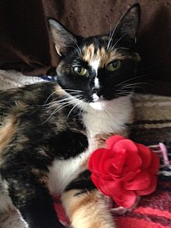 Calico Cat for adoption in Bryn Mawr, Pennsylvania - FLORENTINE/ GREAT WITH CATS