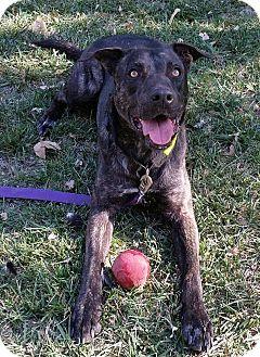 Dutch Shepherd/American Pit Bull Terrier Mix Dog for adoption in Manteca, California - Conner
