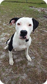 Labrador Retriever/Dalmatian Mix Dog for adoption in Umatilla, Florida - Trixie