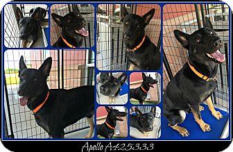 German Shepherd Dog Dog for adoption in SAN ANTONIO, Texas - NITRO