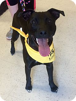 Labrador Retriever Mix Dog for adoption in Manchester, Connecticut - Rosco in CT