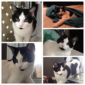 Domestic Shorthair Cat for adoption in Montreal, Quebec - Norma