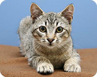 American Bobtail Kitten for adoption in Bellingham, Washington - Ashley