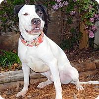Adopt A Pet :: Tyr - O'Fallon, MO