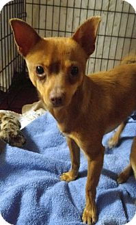 Chihuahua Dog for adoption in Jarrell, Texas - Chico