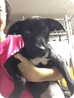 Flat-Coated Retriever Mix Puppy for adoption in Acworth, Georgia - Ellie