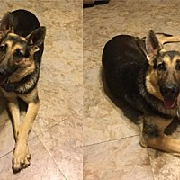 German Shepherd Dog Puppy for adoption in Newport Beach, California - Candee