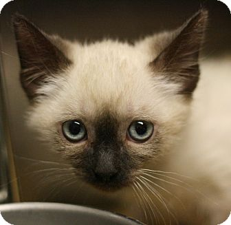 Tonkinese Kitten for adoption in Canoga Park, California - Kinko