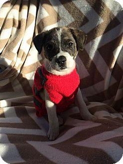 Terrier (Unknown Type, Medium)/Australian Shepherd Mix Puppy for adoption in Matawan, New Jersey - Gritty (adoption pending)