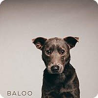 Adopt A Pet :: Baloo - Houston, TX