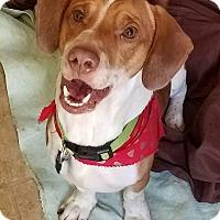 Adopt A Pet :: Beau - Fayette City, PA
