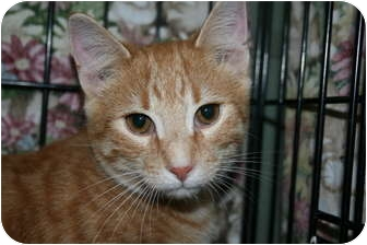 Domestic Shorthair Kitten for adoption in Frederick, Maryland - Taco