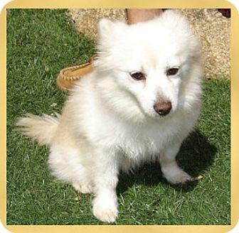 Pomeranian/Chihuahua Mix Dog for adoption in Scottsdale, Arizona - Piper