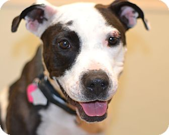 American Staffordshire Terrier Mix Dog for adoption in Gilbert, Arizona - Alise