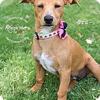 Adopt A Pet :: Pru - Gilbert, AZ