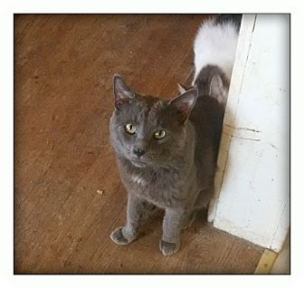 Domestic Shorthair Cat for adoption in london, Ontario - Oswin