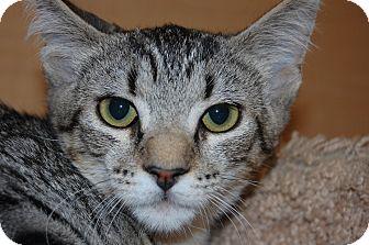 Domestic Shorthair Kitten for adoption in Whittier, California - Satana