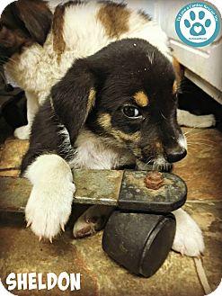 Collie Mix Puppy for adoption in Kimberton, Pennsylvania - Sheldon