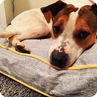 Beagle/Pointer Mix Dog for adoption in Acworth, Georgia - Liza