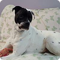 Adopt A Pet :: Max - Hawk Point, MO