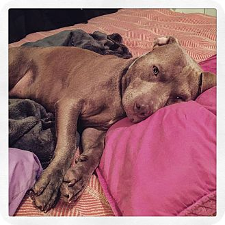 American Pit Bull Terrier Mix Dog for adoption in West Allis, Wisconsin - Leela