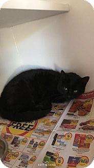 Domestic Shorthair Cat for adoption in Gadsden, Alabama - Oscuro