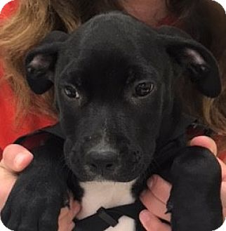 American Pit Bull Terrier Mix Puppy for adoption in Fort Collins, Colorado - Leo