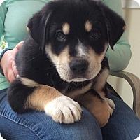 Adopt A Pet :: Tank - St. Charles, IL