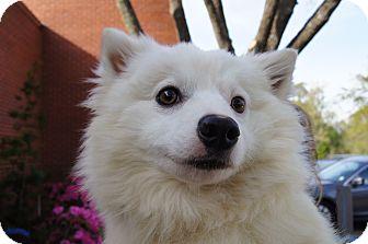 Spitz (Unknown Type, Medium) Dog for adoption in Groton, Massachusetts - Brady