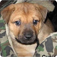 Adopt A Pet :: Cupid - Scottsdale, AZ