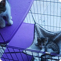 Adopt A Pet :: Kittens of all colors - Lexington, KY