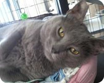 Russian Blue Cat for adoption in New Orleans, Louisiana - Sergeant Grey