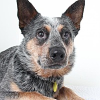 Australian Cattle Dog Dog for adoption in Eden Prairie, Minnesota - Argo *Deaf* D151128