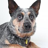 Australian Cattle Dog Dog for adoption in Edina, Minnesota - Argo *Deaf* D151128