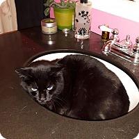 Adopt A Pet :: Ringo - Verdun, QC