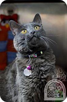 Domestic Shorthair Cat for adoption in Salt Lake City, Utah - Syd Whiskers