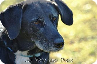 Labrador Retriever/Border Collie Mix Dog for adoption in kennebunkport, Maine - Molly, Foster Needed, in Maine