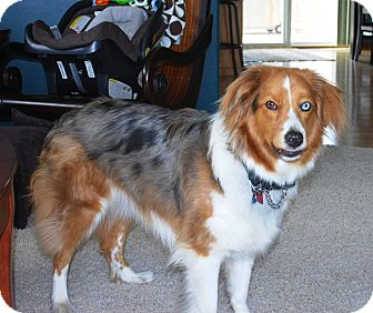 Australian Shepherd Dog for adoption in Minneapolis, Minnesota - Moose