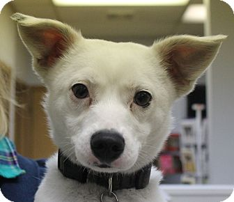 Chihuahua/Jack Russell Terrier Mix Dog for adoption in North Olmsted, Ohio - Shadow