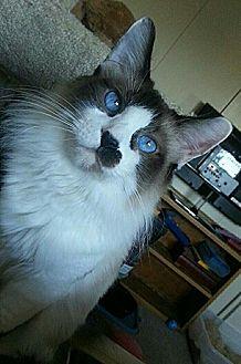 Snowshoe Cat for adoption in Surprise, Arizona - Mittens