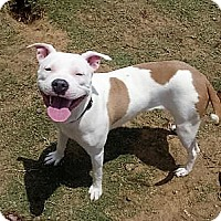 Adopt A Pet :: Roxie Heart - Coppell, TX