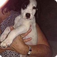 Adopt A Pet :: Bandit - Charlestown, RI