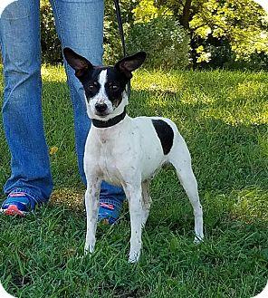 Rat Terrier Dog for adoption in Atchison, Kansas - Taz